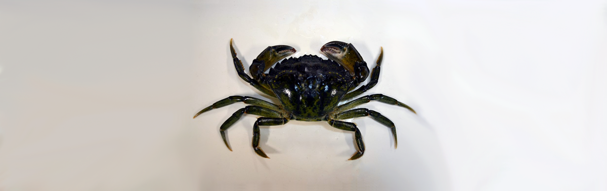 A male European Shore Crab