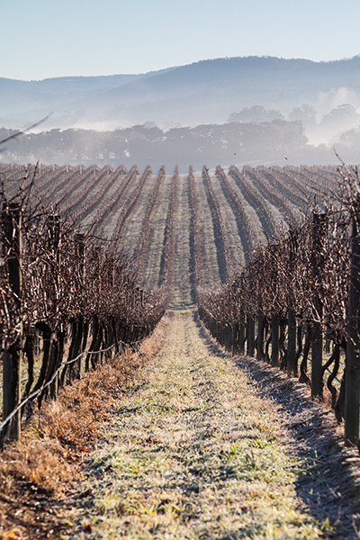 Early morning fog over a vineyard in the Yarra Valley