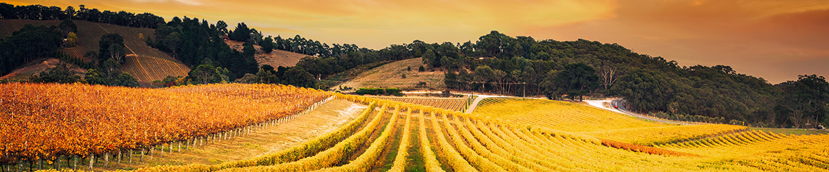 Golden morning vineyard - Adelaide Hills